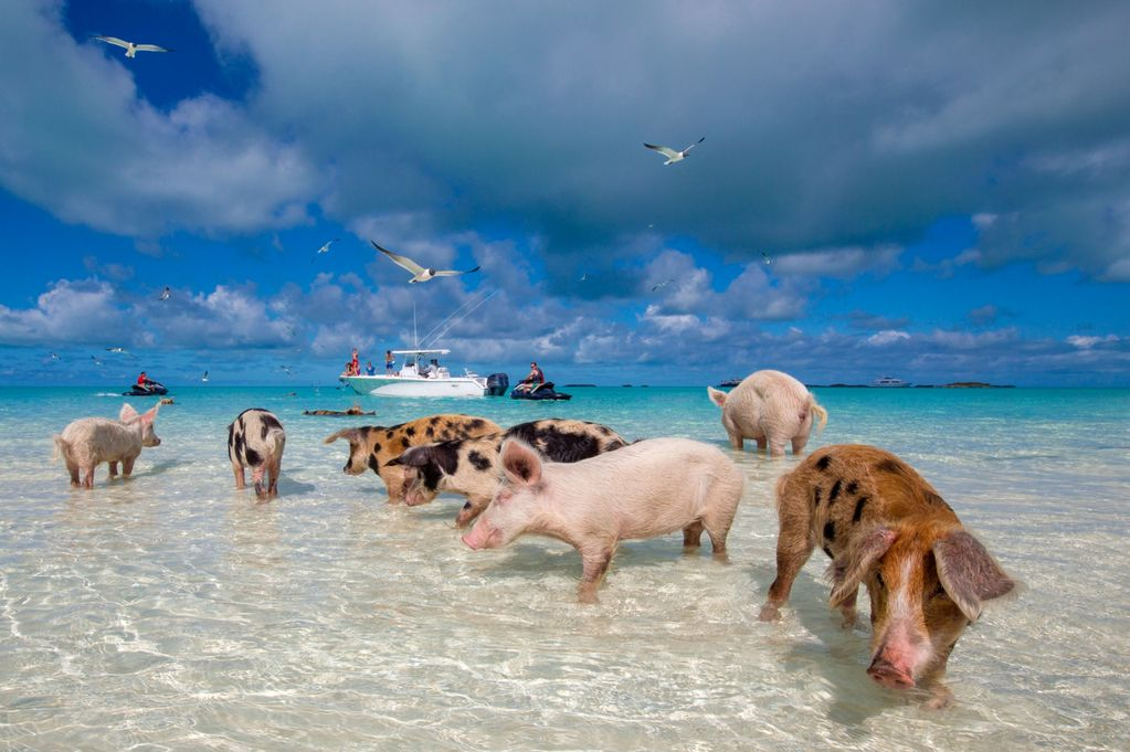 PAY-beachbum-pigs