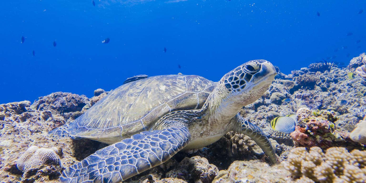 caribbean-turtle