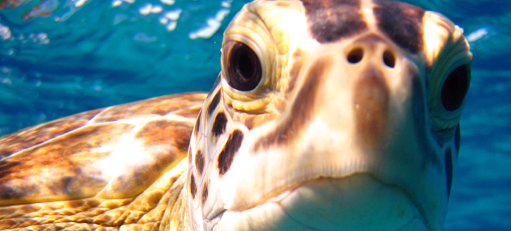 green-turtle-in-the-bahamas_4582